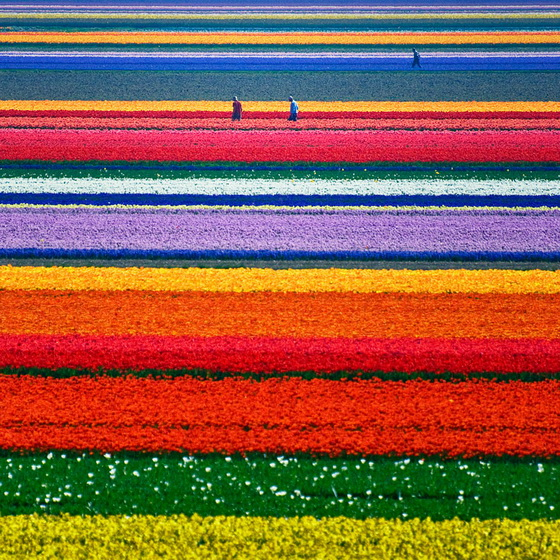 16. Tulip Fields (Netherlands)