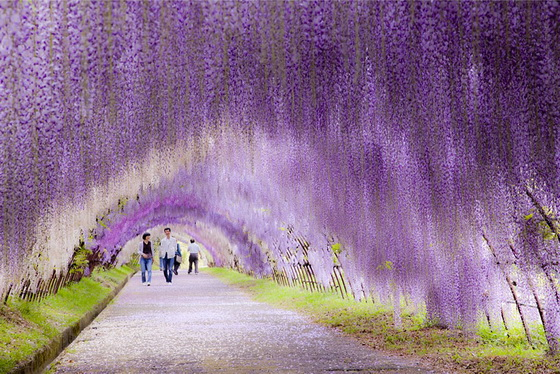 18. Wisteria Flower Tunnel (Japan)