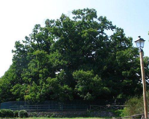 9 chestnuttree