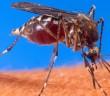Aedes_aegypti_biting_human