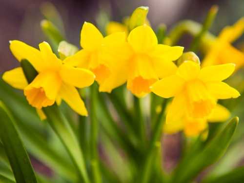 daffodil-plant-lgn