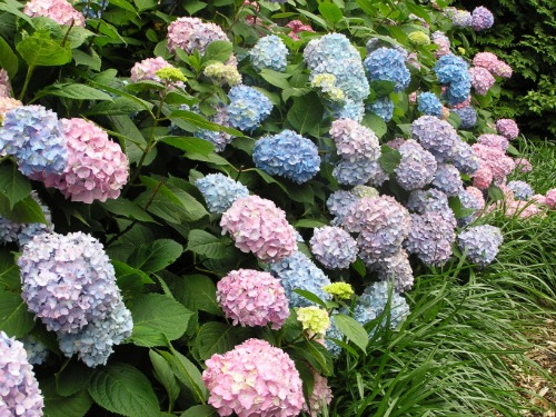 hydrangea-plant-lgn
