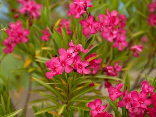 oleander-plant-lgn