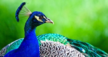 peacocks-5a