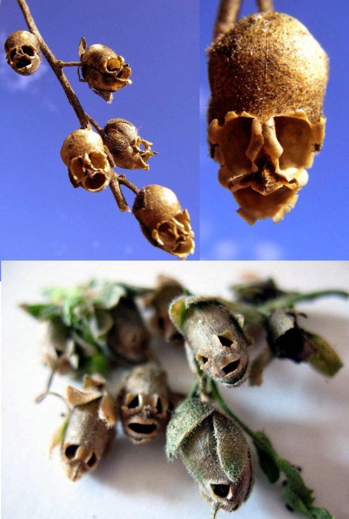 "Annnd The Creepy ""Snapdragon Seed Pod"" (Antirrhinum)"