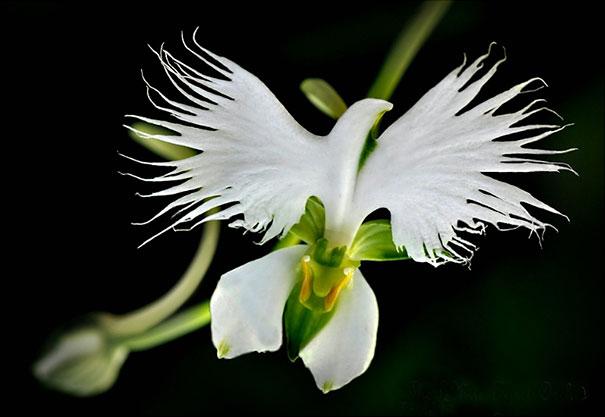 "The Stunning ""White Egret Orchid"" (Habenaria Radiata)"