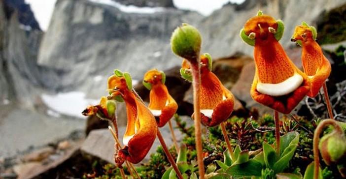 "The Unreal ""Happy Aliens"" (Calceolaria Uniflora)"