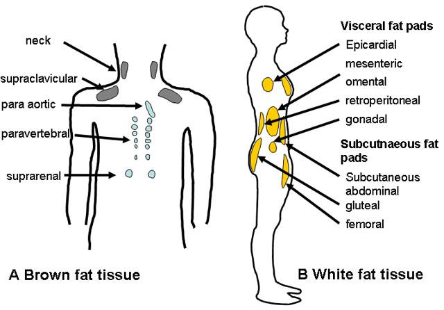 Da bismo stvarali zdravu smeđu masnoću potreban je pravilan rad endokrinog sustava i pravilna prehrana. Na lijevoj strani slike vidite mjesta na kojima se stvara smeđa masnoća, na desnoj strani slike su mjesta s neželjenom bijelom ili lošom masnoćom.