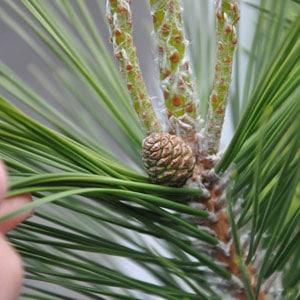 pine-cones-9