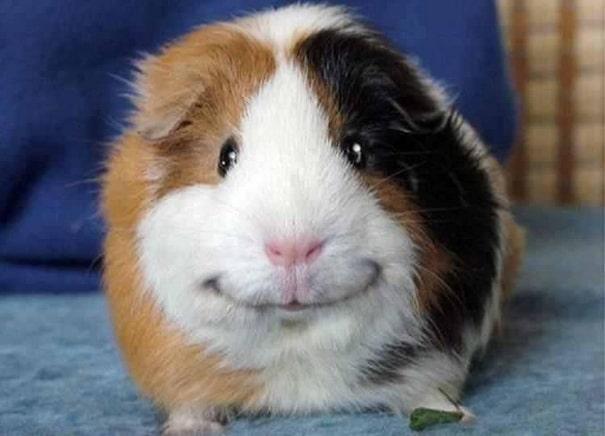 smiling-hamster
