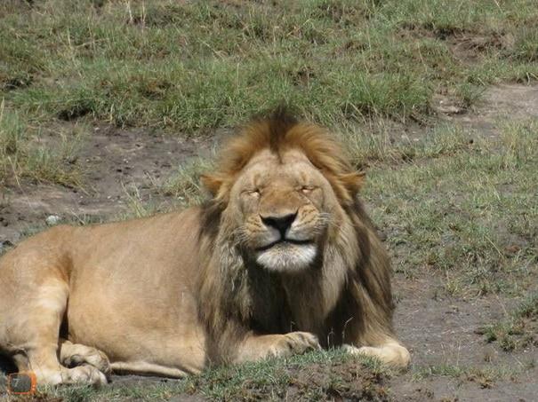 smiling-lion