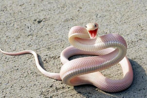 smiling-snake