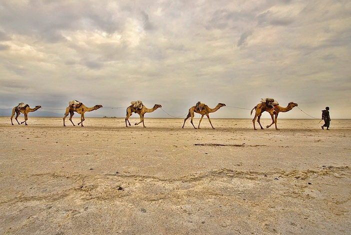 Camel caravans carrying salt through the desert in the Danakil D