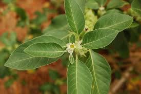 Withania somnifera - cijela biljka čiji se svi dijelovi koriste u tradicionalnoj medicini