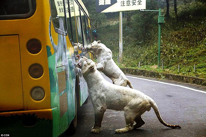 Pogledajte ovaj zoološki vrt u Kini – Životinje slobodno lutaju, a ljudi su u kavezu! 3007B28F00000578-3393689-image-a-14_1452512164436
