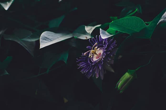 'Kristov cvijet' prirodni nektar za ublažavanje napetosti i stresa
