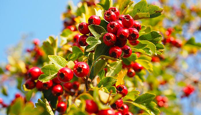 Svemoguća biljka o kojoj se malo zna: Crveni glog snižava tlak, ima jako smirujuće djelovanje i sprječava infarkt!