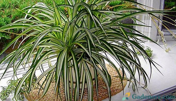 Ovu sobnu biljku mora imati svaka kuća: Čisti zrak od svih zagađenja!