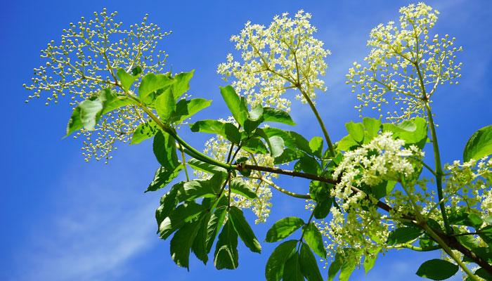 Ova biljka je čudo, nema što ne liječi: Tjera bronhitis, astmu i prevenira najteže bolesti!