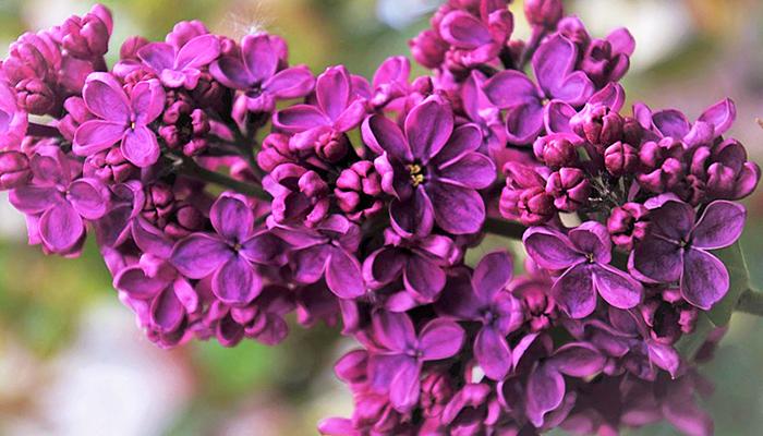 Čudesne zdravstvene koristi čaja od mirisnog ljubičastog jorgovana - RECEPT