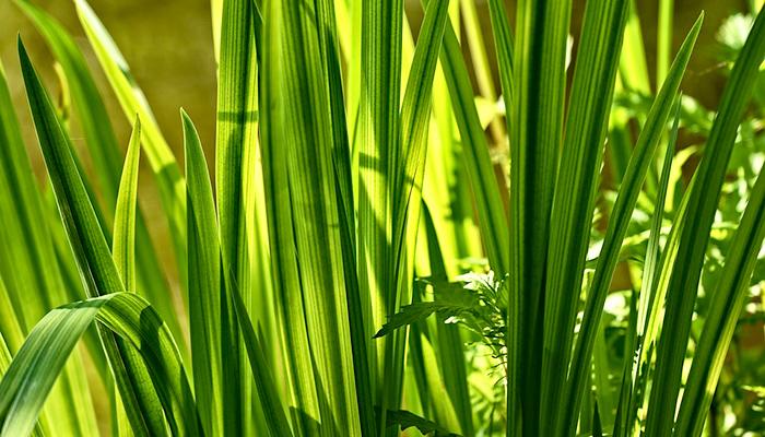Ljekovitost iđirota - Samonikla biljka koja produžuje život (recept)
