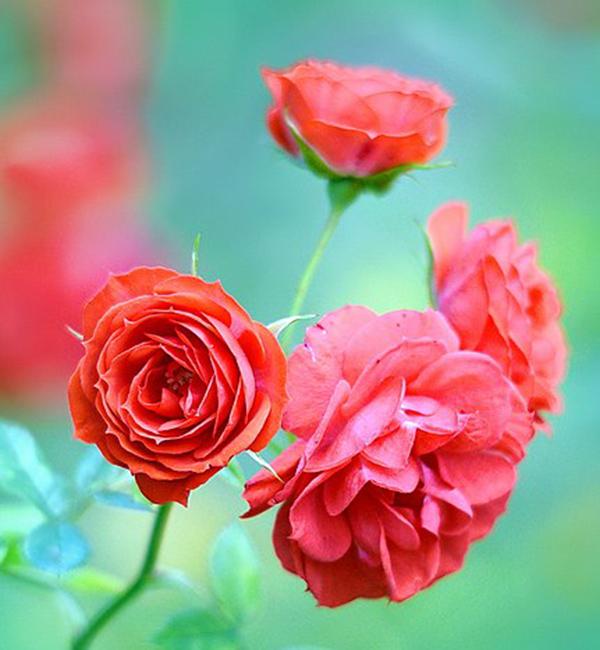 608px Mini Red Roses 197147819