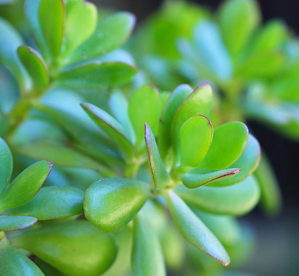 800px Jade Plant Crassula ovata IMG 2856