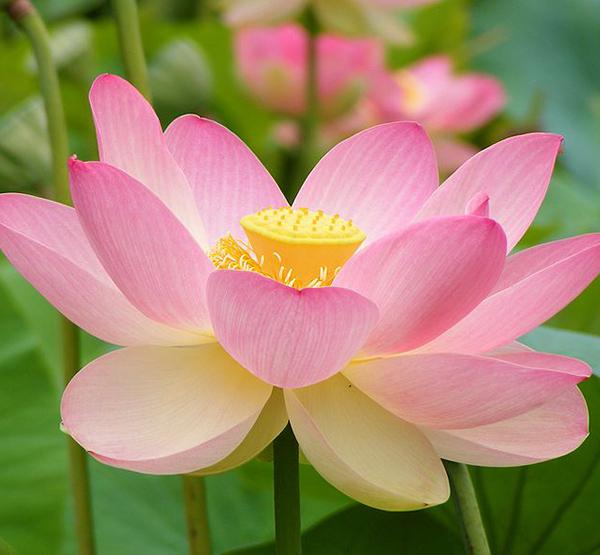 Nelumno nucifera open flower botanic garden adelaide2