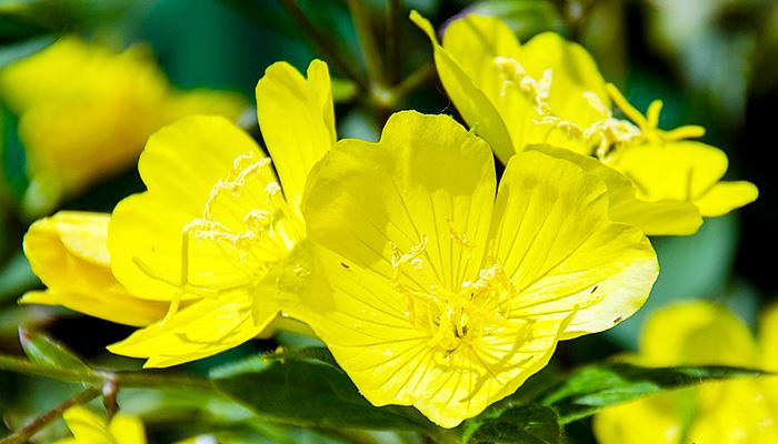 Čudotvorni žuti noćurak: Prirodno rješenje za ženske probleme, osteoporozu, artritis i kožna oboljenja!