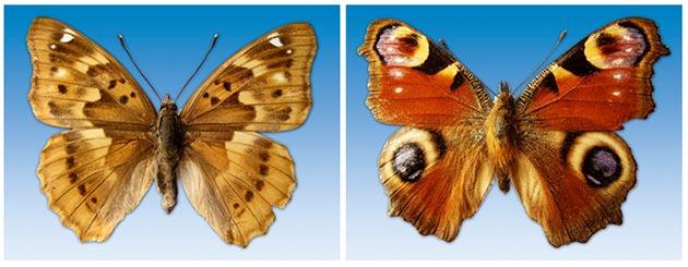 leptiri hrvatske 1