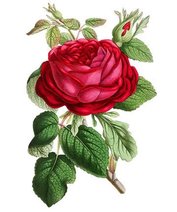 rose 1196476 960 720
