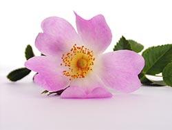 bachkove kapi cvijet
